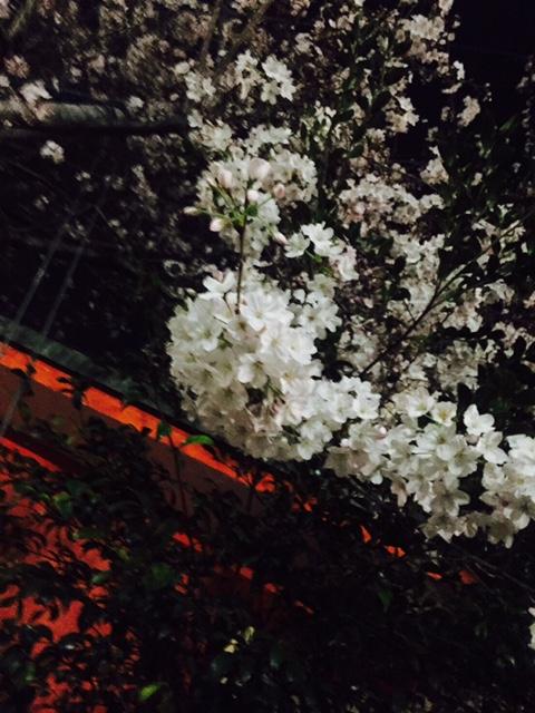 お花見02